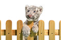 White bengal tiger and wooden fence isolated on background Royalty Free Stock Photography