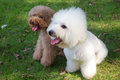 White bichon frise and brown miniature poodle standing on the lawn Royalty Free Stock Photo