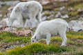 White Big Horn Sheep - Rocky Mountain Goat Royalty Free Stock Photo