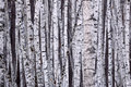 White Birch Stock Photography