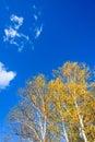 The White Birch autumn scenery Royalty Free Stock Photo
