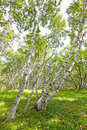 White birch forest landscape Royalty Free Stock Photos
