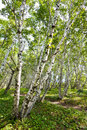 White birch forest landscape Royalty Free Stock Images