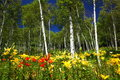 White birch forest and lily Stock Photography
