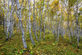 The White Birch Forest Royalty Free Stock Photo