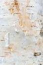 White Birch Tree Bark Texture Royalty Free Stock Photo