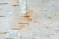 White Birch Tree Bark Texture Macro Royalty Free Stock Photo