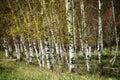 White Birch Trees Royalty Free Stock Photo
