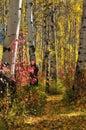 White birch trees in autumn Royalty Free Stock Photo