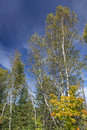 White Birch Trees in an Autumn Forest Royalty Free Stock Photo