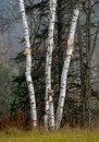 White Birch trees (Betula) Royalty Free Stock Photography