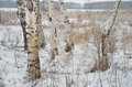 White birches in winter field Royalty Free Stock Photo