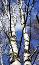 White birchs and blue sky the stem of birch trees in early spring Stock Image