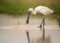 White Bird, Rare Eurasian Spoo...