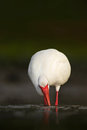 White birds in the water. Feeding scene in the water bird. White Ibis, Eudocimus albus, white bird with red bill in the water, fee Royalty Free Stock Photo