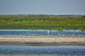 White birds on a wild sand beach in the Danube Delta Royalty Free Stock Photo