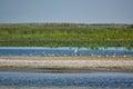 White birds on a wild sand beach in the Danube Delta