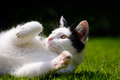 White And Black Cat Playing On Lawn