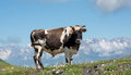 White and black cow on alpine meadow Royalty Free Stock Photo