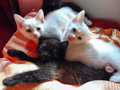 White and black kittens Royalty Free Stock Photo