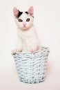 White and black pussy cat in the pastele blue basket small sitting sky on background has pink nose ears it has Stock Photos