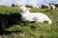 White and black sleeping lambs. Stock Photo