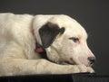 White black spots puppy Royalty Free Stock Photo
