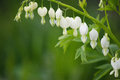 White Bleeding Heart Flowers Royalty Free Stock Photo