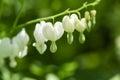 White Bleeding Hearts Flowers ...