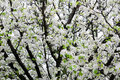 White blooming apple tree Royalty Free Stock Image