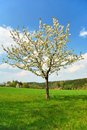 White blooming apple tree Stock Images