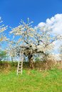 White blooming apple tree Stock Image