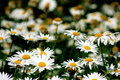 White blooming Daisy Royalty Free Stock Photo