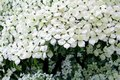 White flowers blooming Dogwood tree close up Royalty Free Stock Photo