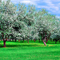 White blossom of apple trees Royalty Free Stock Photos