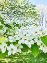 White blossom of apple trees Royalty Free Stock Photo