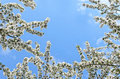 White blossom flowers in blue bright sky Stock Photo