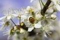 White Blossom Ladybug Royalty Free Stock Photo