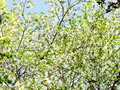 White blossoming tree in orchard in spring day Stock Photos