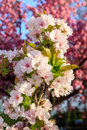 White blossoms of apple on a background of pink sakura tree blossom Royalty Free Stock Photos