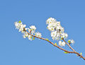 White blossoms blossoming plum flowers on a blue sky background Royalty Free Stock Image