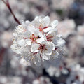 White blossoms of plum square flower against blurred background Stock Image