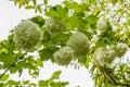 White blossoms of Red Guelder Rose, Viburnum opulus `Roseum` Royalty Free Stock Photo