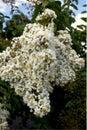 White blosum the flowers of stone fruit trees Royalty Free Stock Image