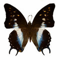 White, blue and black butterfly Royalty Free Stock Photo