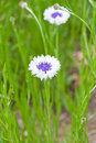 White blue cornflowers in green meadow selective focus Royalty Free Stock Images