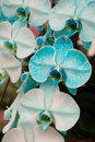 White and blue orchid Royalty Free Stock Photo