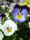 White and blue pansies in a park in spring Stock Photo
