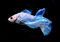 White and blue siamese fighting fish, betta fish isolated on bla