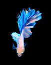 White and blue siamese fighting fish, betta fish isolated on bla Royalty Free Stock Photo